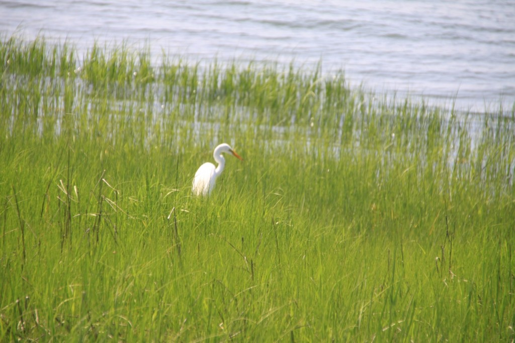 An egret at Tod's Point.