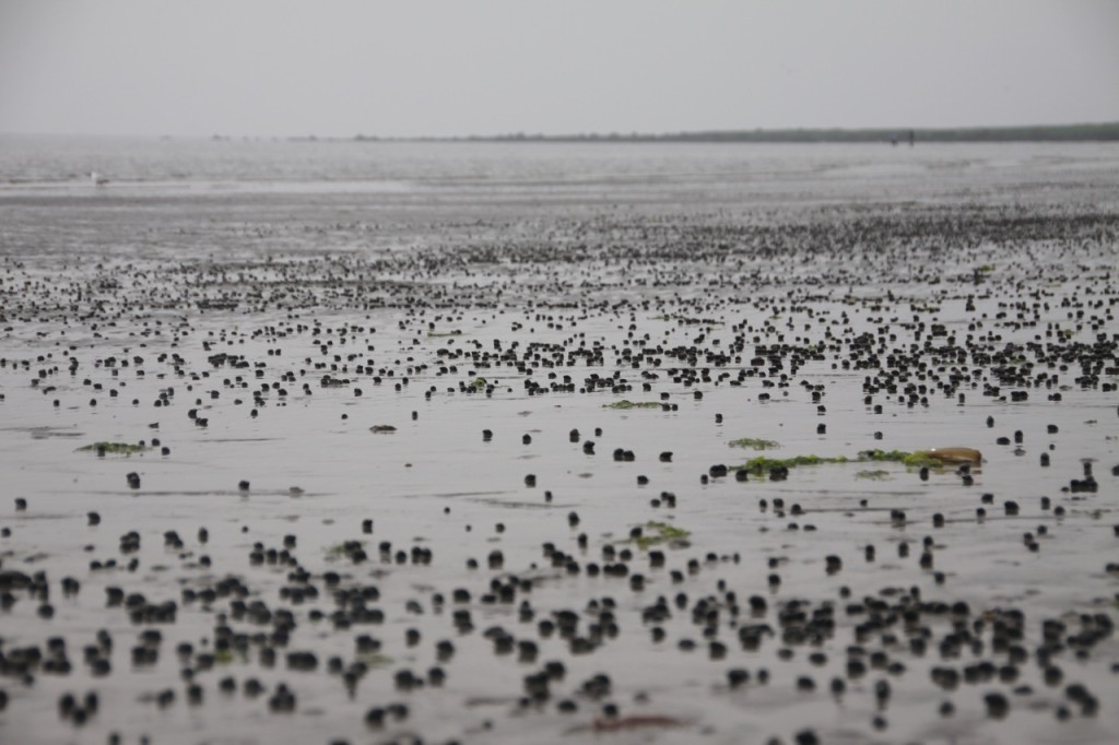 Early morning low tide, with millions of snails dotting the sand.