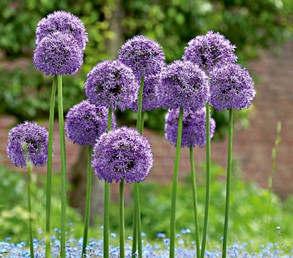 Gladiator Alliums