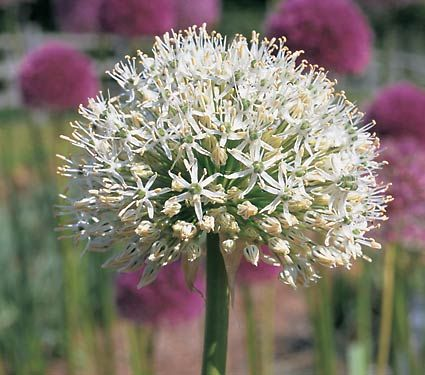 Mount Everest Allium