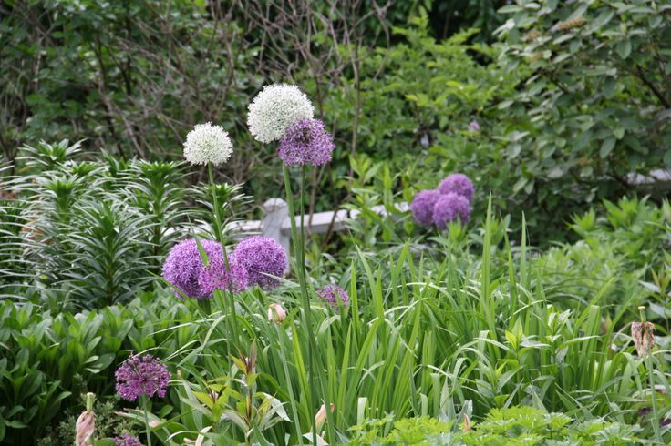 I enjoy seeing a variety of Alliums in my garden.