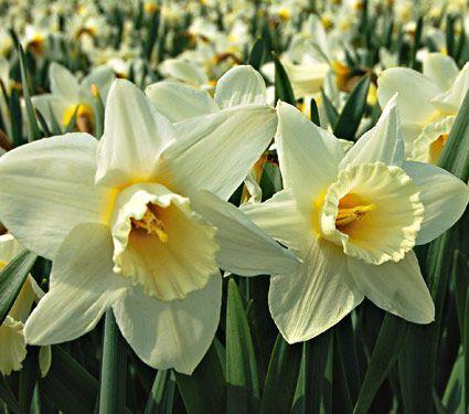 Mount Hood Daffodil