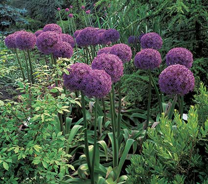 Globemaster Allium