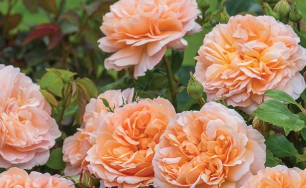 Lady Gardener Rose