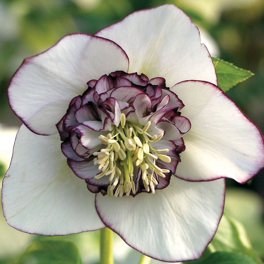 White Pearl Lenten Rose