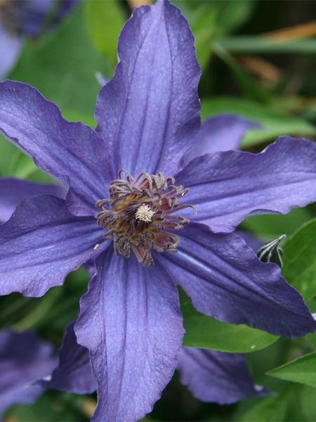 Blue Sapphire Indigo